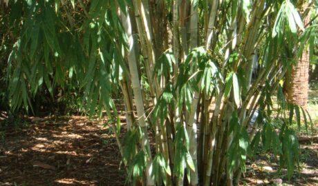 Cortada Landscape Design | Bamboo Plants Installation Miami, FL