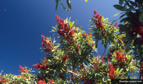 What to do with invasive plant species | Cortada Landscape Design